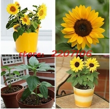 Free shipping 50 mini dwarf sunflower series 40 cm high flower plant seeds easy grow * Best bonsai home Bubble bag Organic
