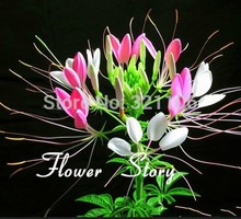 Free Shipping 30 spider flower seeds,blooms from early summer till fall.
