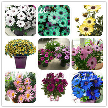 African Blue Eyed Daisy Seeds 100 pcs Cape Mix Flower seeds Heirloom plant mix colors attractive butterfly light up your garden