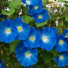 20 Heavenly Blue Morning Glory Seeds ~impressive!
