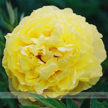 Rare New 'Huang Huakui' Golden Yellow Peony Flower Seeds, Professional Pack, 5 Seeds / Pack, Strong Fragrant Flower #NF752