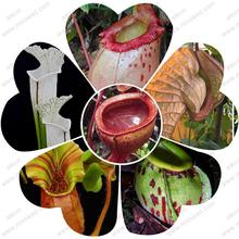 nepenthes plant seed Nepenthes seeds flytrap plant seeds 20 particles / bag