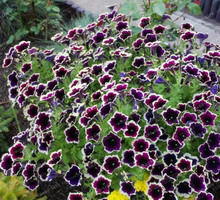 Heirloom Hanging Petunia Mixed  200PCS Seeds Very Beautiful Garden Flowers Light Up Your Garden  Home Bonsai Plants