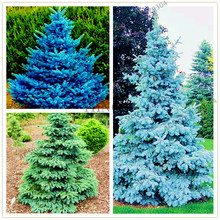 50pcs/bag blue/green/Silver Spruce seeds Rare Evergreen Colorado Picea Pungens Seeds bonsai plant seeds home garden(China)