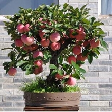 Trial product Bonsai Apple Tree Seeds 35 Pcs apple seeds (used wet sand sprouting )fruit bonsai garden in flower pots planters