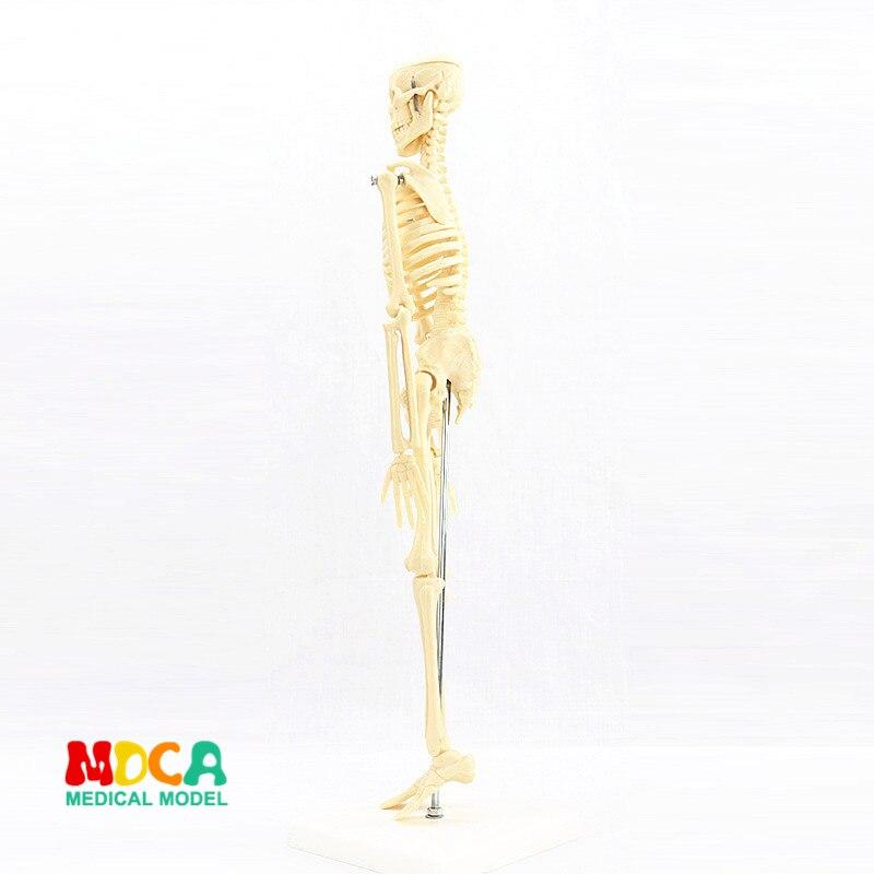 Medical standard for fine arts and medicine 45CM skeleton model of human .skeleton model MGG101