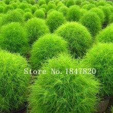 GGG summer cypress seed,Kochia broom seedlings peacock pine ,Original Package seed about 100 particles(China)