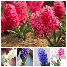 Free Shipping 200pcs Hyacinth Seeds Mixing Different Varieties Balcony Bonsai Colorful Flowers Canned Plant for home garden gift