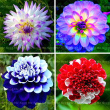 100 pcs/bag Dinner Plate rainbow  dahlia flower dahlia seeds charming bonsai flower seeds  High germination home garden potted p