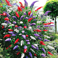 100seeds A Bag Buddleja Seeds Flower Garden Decoration Outdoor Good Grass Bonsai Lure Fish Easy To Plant Seed Free Shipping