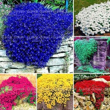 100pcs/bag Creeping Thyme Seeds or Blue Rock Cress Seeds Perennial Ground cover flower, Natural growth for home garden(China)