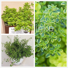 50pcs Lemon Thyme Seeds High Medicinal Values Easy Germinates Herb Flower Seeds Bonsai Home Gardan Potted Plant Free Shipping(China)
