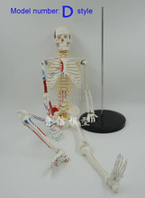 Free Shipping Muscle load-point bone 85 cm.Write color skeleton.The human body skeleton model.Spinal disc
