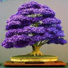 Purple bonsai maple tree Seeds mini bonsai tree for indoor plant can put on office desk free shipping 25pcs A981