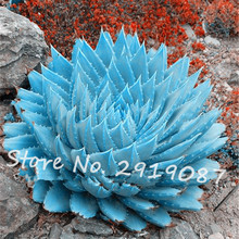 50pcs/bag Rare Blue Cactus Seeds Variety Exotic Flowering Color Cacti Rare Cactus Aloe Seed Office Plant Succulent Planting