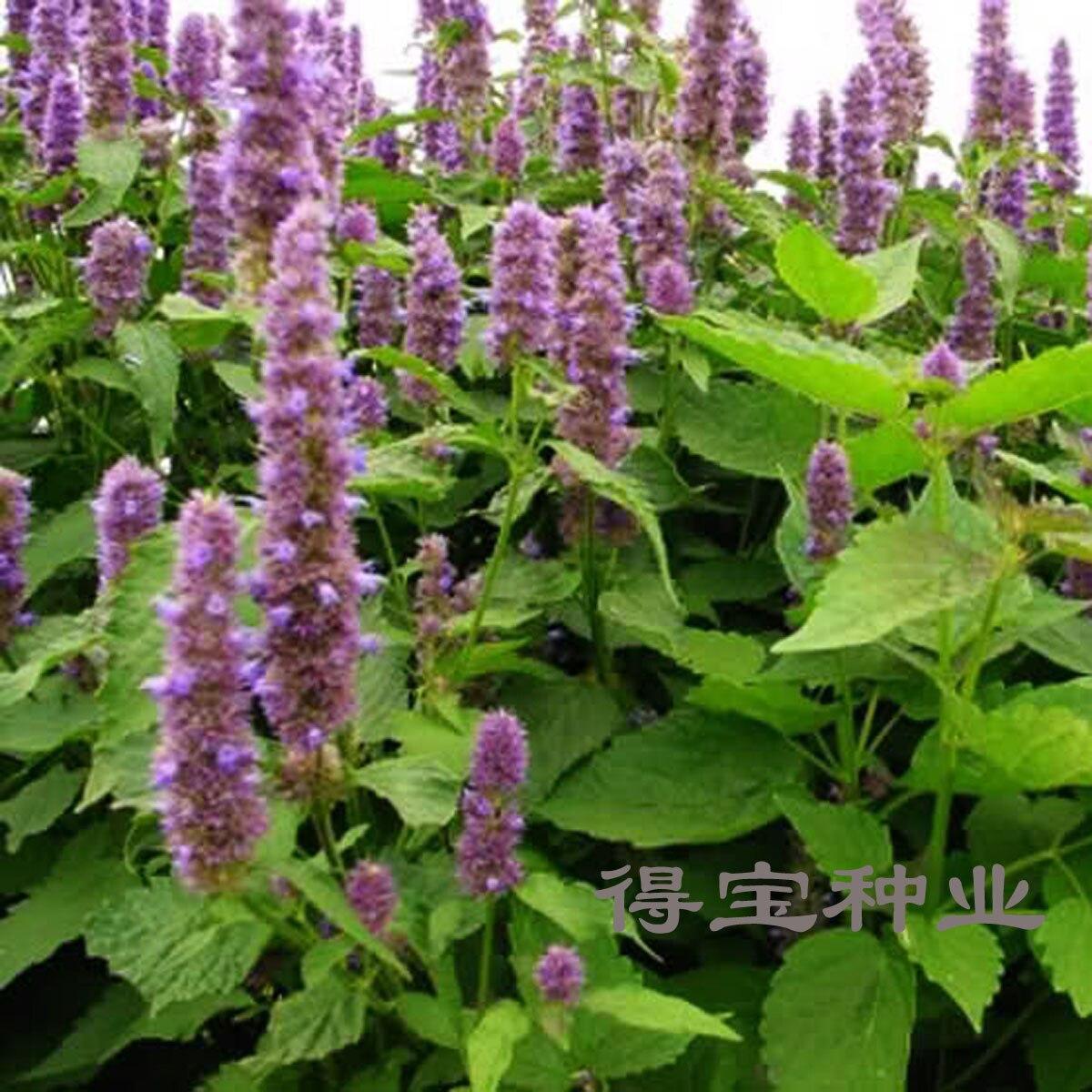 Лофант выращивание из семян когда сажать фото