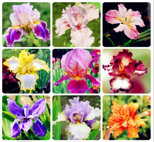 20Pcs/Bag Pink Iris Seeds Bearded Iris Seeds Rare Bonsai Iris Phalaenopsis Orchid Flower Seeds Nature Plants For Home Garden