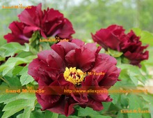 Rare British Wine Style 'Grape Red' Peony Seeds, 5 Seeds/Pack, Flowr Seed Pot Plant Dwarf Tree Peony-Land Miracle