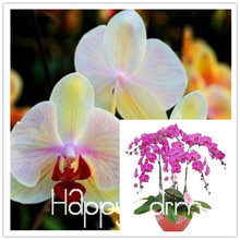 ON SALE !!!! 10pcs phalaenopsis orchid seeds butterfly orchid seeds beautiful flower,#27RCXA