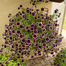 200 pieces/Purple Petunia Seeds rare Black Petunia Flower Seeds in Bonsai indoor Flower Seeds for Home Garden Bonsai plant(China)