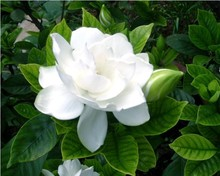 50pcs/bag arabian jasmine gardenia flower seeds, rare white and fragrance, cape jasmine flower Can be used as a medicine