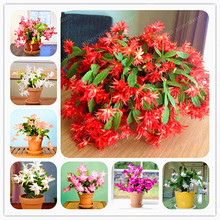 100 Seeds Zygocactus Truncatus Schlumbergera Seeds Indoor Potted Plants Green Plants Easy Grow Plants Easy To Grow(China)