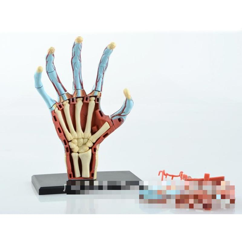 Hand structure model primary and secondary schools teaching equipment, medical model of biological puzzle assembled master, teac<br>