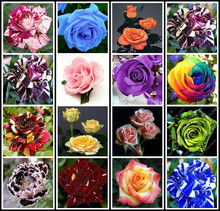 Freeshipping 1600 pc(THIS ORDER INCLUDE 16 PACKS EACH COLOR 100 SEEDS)CHINESE ROSE SEEDS- Rainbow Black Red Purple Blue sky rose