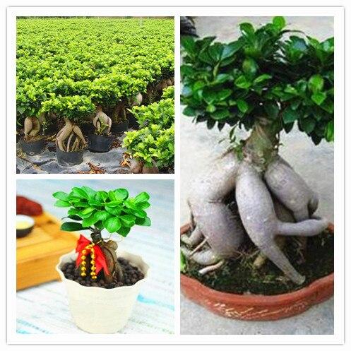 Achetez en gros ficus ginseng bonsa en ligne des for Jardin ficus quilpue