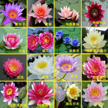 Hydroponic flowers small water lily seeds mini lotus seeds bonsai seeds set hydrophyte - 1 pcs seeds