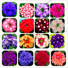 100pcs/bag Mixed color,Verbena hybrida seeds, Bonsai flower seeds for home and garden planting,easy to grow(China)