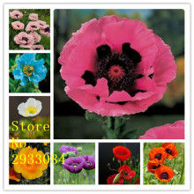 100+ Rare Heirloom Corn Poppy Flowers Seeds, beautiful annal herbs garden plants