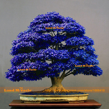 Ghost Japanese Dark Blue Maple Tree Seeds Bonsai Tree Seeds, 20 Seeds/Pack, Potted Plant For Home & Garden