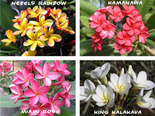 20PCS/BAG Plumeria ( Frangipani, Hawaiian Lei Flower ) Seeds, Rare Exotic Flower Seeds