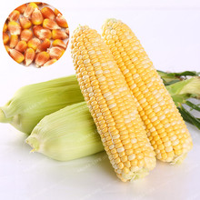 10 Pcs Rare Yellow Waxy Corn Seed Heirloom Super Sweet Corn Seeds Edible Non GMO Grain Cereals Plant Organic Vegetable Seeds(China)
