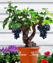 Grape Seeds -Summer Garden Fruit  Super Sweet  Fragrant Bonsai Indoor Outdoor Climbing Bonsai Grapes Free Shipping
