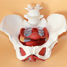 female pelvic structure model Female genital model of pelvis Bladder with two lumbar pelvic floor muscle model(China)