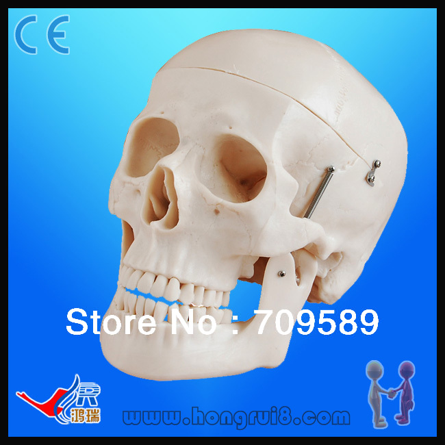Advanced  Life-size Plastic medical skull anatomy model<br>