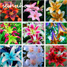 Big Promotion!!! 50 Pcs Lily Seeds Red Heart White Lilium Brownii Seeds Balcony Bonsai Plant Lily Flower Seeds Germination 99%