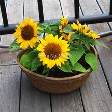 Four seasons broadcast viewing balcony pots of dwarf sunflower seeds easy to plant flower seeds 20 seeds