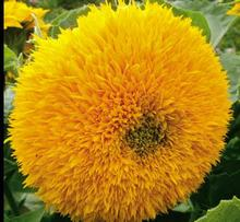 Cute Original 20 Seeds Teddy Bear Sunflower DIY Flower Very Cute Big Fat&Fuzzy Sunflower Seed Bonsai Flowers for Garden Decor