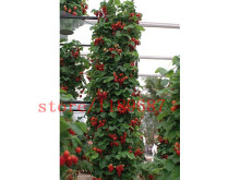 600 big and climbing strawberry seeds Red giant Climbing Strawberry Seeds Fruit Seeds For Home & Garden DIY NO-GMO