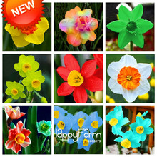 New Arrival!Narcissus Flower Daffodil Seeds Absorption Radiation Narcissus Tazetta Seeds Flowers for Rooms,100 Seed/Lot,#CNPQA6(China)