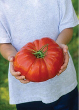 Pink  Heirloom Tomato Seeds - 100 seeds, Organic, NON GMO