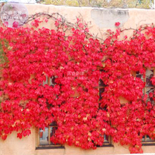 BELLFARM Heirloom Imported Red Ivy Climbing Plant Seeds, Professional Pack, 10 Seeds / Pack E3431