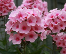 Heirloom20Seeds Phlox Drummondii California Mountain Linanthus Garden Flower Mix Seeds