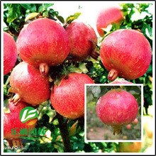 Wholesale Tunisia soft seed sweet pomegranate tree seed quality varieties of sweet pomegranate seed 30 seeds / pack(China)