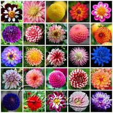 25 Kinds Dahlia Flower Seeds A Pack of 50 Seeds Easy Growth DIY decorative garden