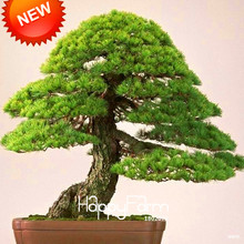Best-Selling!Japanese Ornamental Potted Pine Seeds Osaka Bonsai Pine Tree Seeds 100 particles / lot,#8B9JQ4(China)