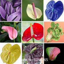 2016Hot anthurium seeds, free shipping cheap anthurium seeds, Bonsai balcony flower, anthurium potted flower seeds - 100 pcs/ba